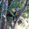 Sustentación de 2tn en Pinus halepensis.